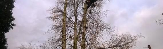 Birch Removal