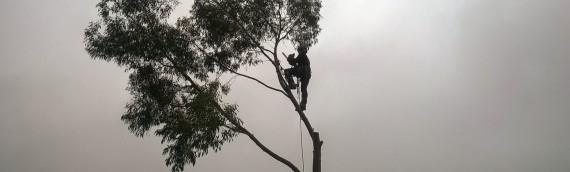 Eucalyptus removal