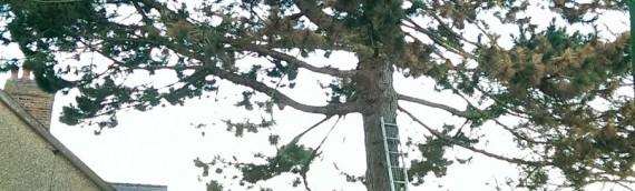 Austrian Pine Removal – Hinckley