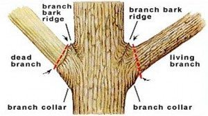 Tree pruning cuts