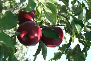 Apple tree leicester