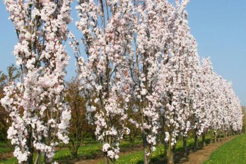 row of amanogawa cherry trees in blossom