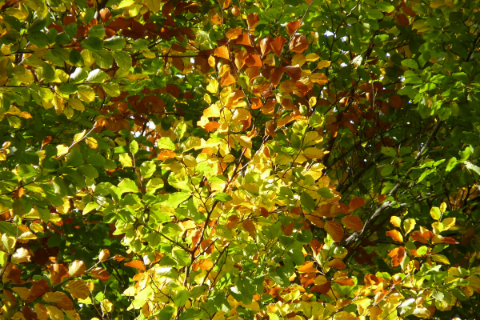 beech leaves turning in autumn