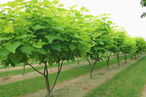 line of young catalpa (indian bean) trees