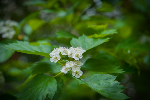hawthorn leaves and blossom