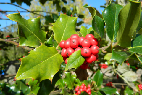 holly leaves with berries