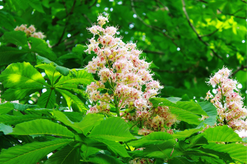 leaves and blossom of horse chestnut tree