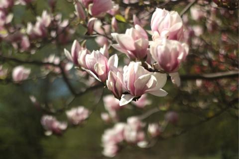 magnolia flowers on a tree