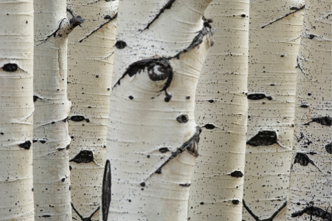 bark of silver birch trees